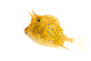 Scrawled Cowfish (Acanthostracion quadricornis) juvenile, Biscayne National Park, Florida, USA, January . meetyourneighbours.net project  -  MYN / Paul Marcellini