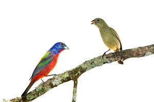 Painted bunting (Passerina ciris) pair perched, male on left, female on right, Homestead, Florida, USA, March . meetyourneighbours.net project  -  MYN / Paul Marcellini