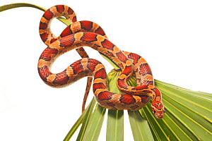 Red rat snake / Corn snake (Elaphe / Pantherophis guttatus guttatus) coiled on palmetto, Everglades National Park, Florida, USA, April. meetyourneighbours.net project  -  MYN / Paul Marcellini