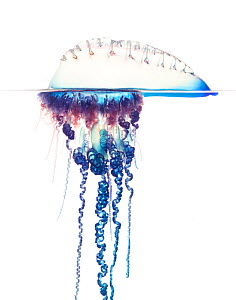 Portuguese man of war (Physalia physalis) Florida, USA, December. meetyourneighbours.net project  -  MYN / Paul Marcellini