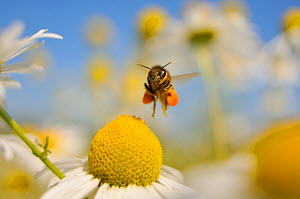 European Honey Bee (Apis mellifera) with pollen sacs flying towards a Scentless mayweed (Tripleurospermum inodorum) flower in order to feed, Perthshire, Scotland, UK, July. 2020VISION Exhibition. Did... - Fergus Gill / 2020VISION