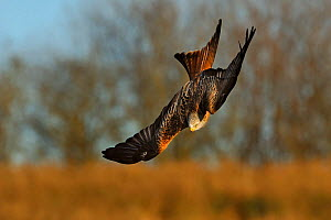 Red Kite (Milvus milvus) in flight, Wales, UK, November. 2020VISION Exhibition. Did you know? Reintroduced Red kites in England reproduce when they are one year old, but native kites in Wales only sta... - Andy Rouse / 2020VISION