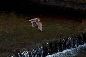 Adult Daubenton's bat (Myotis daubentoni) flying over a weir, England, UK, September. 2020VISION Exhibition. Did you know? This species is know as the 'water bat', and catches insects from the water s... - Dale Sutton / 2020VISION