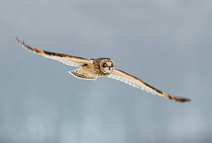 Short-eared owl (Asio flammeus) in flight, Worlaby Carr, Lincolnshire, England, UK, December. 2020VISION Exhibition. - Danny Green / 2020VISION