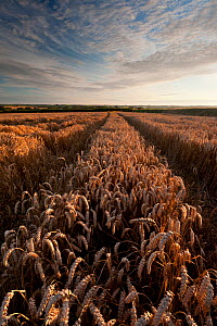 Field of ripe wheat with vehicle tracks, in late evening light, near Putford, north Devon, UK, August 2011.  -  Ross Hoddinott