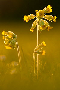RF- Cowslips (Primula veris) backlit in evening light. Durlston Country Park, near Swanage, Dorset, UK. April. (This image may be licensed either as rights managed or royalty free.)  -  Ross Hoddinott