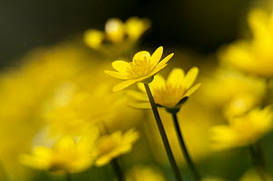 Lesser celandine (Ranunculus ficaria) close up of flowers, Broxwater, North Cornwall, UK, March.  -  Ross Hoddinott