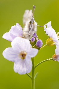 Head on view of Orange tip butterfly (Anthocharis cardamines) female resting on Cuckoo flower (Cardamine pratensis) north Devon, UK, April. - Ross Hoddinott