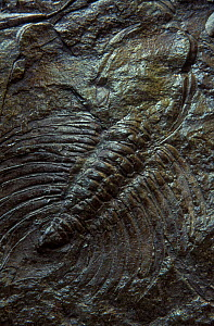 Fossil of a Trilobite (Ceratarges sp) from the Devonian period, Asturias, Spain - Juan Carlos Munoz