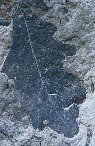 Fossil of Oak leaf (Quercus pseudocasta) angiosperm from the Cretaceous period  -  Juan Carlos Munoz