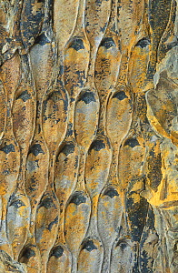 Fossil of Scale tree (Lepidodendron) from the carboniferous period, Guadiato, Spain  -  Juan Carlos Munoz