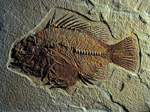 Fossil of extinct perch fish (Priscacara sp) from the Eocene period, Wyoming, USA  -  Juan Carlos Munoz