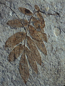 Fossil of leaves of prehistoric Hickory plant (Carya sp) Castellon, Spain  -  Juan Carlos Munoz