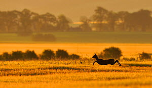 Roe Deer (Capreolus capreolus) doe running in a field of barley, Northumberland, England, summer. Although Roe deer mate in August, the fertilised egg is dormant until January, which prevents the fema... - Fergus Gill / 2020VISION