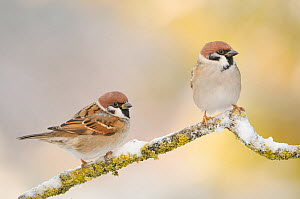Two Tree sparrows (Passer montanus) perched on a snow covered branch, Perthshire, Scotland, UK, December. 2020VISION Book Plate.  -  Fergus Gill / 2020VISION