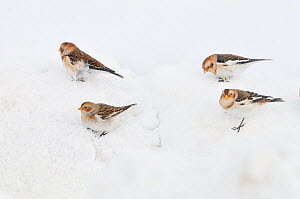 Snow Buntings (Plectrophenax nivalis) searching for food in snow, Cairngorms National Park, Scotland, UK, January. 2020VISION Book Plate. Did you know? Snow buntings are the one of the most northerly...  -  Fergus Gill / 2020VISION