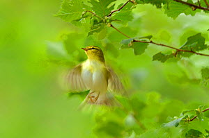Wood warbler (Phylloscopus sibilatrix) in flight in sesile oak forest, Wales, UK, May. 2020VISION Book Plate. Did you know? A group of warblers is known as a bouquet. - Andy Rouse / 2020VISION