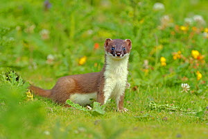 Stoat (Mustela erminea), UK, July. 2020VISION Book Plate. Did you know? There are 37 subspecies of stoat around the world. - Andy Rouse / 2020VISION