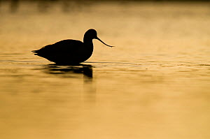 Avocet (Recurvirostra avosetta) silhouetted in water at sunrise, Brownsea Island, Dorset, England, UK, January. 2020VISION Book Plate. Did you know? Avocets went extinct in the UK in 1840, and recolon...  -  Bertie Gregory / 2020VISION