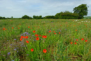 Conservation margin with Ox-eye daisies (Leucanthemum vulgare), Common poppies (Papaver rhoeas) and Scorpionweed (Phacelia tanacetifolia), RSPB Hope Farm reserve, Cambridgeshire, England, UK, May. 202...  -  Chris Gomersall / 2020VISION
