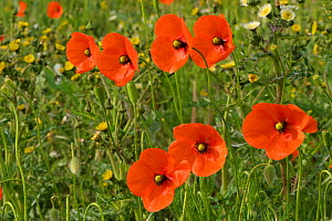 Common poppies (Papaver rhoeas) growing in a consevation margin, RSPB Hope Farm reserve, Cambridgeshire, England, UK, May. 2020VISION Book Plate. Did you know? Common poppy seeds can lie dormant for u... - Chris Gomersall / 2020VISION