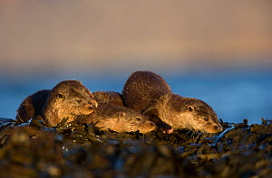 Three European river otters (Lutra lutra) resting on seaweed, Isle of Mull, Inner Hebrides, Scotland, UK, November. 2020VISION Book Plate. - Danny Green / 2020VISION
