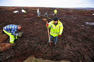 Men planting Cotton grass (Eriphorum) seedlings into eroded peat, helping to regenerate the landscape, Kinder Scout NNR, Derbyshire, England, UK, July. 2020VISION Book Plate.  -  John Beatty / 2020VISION