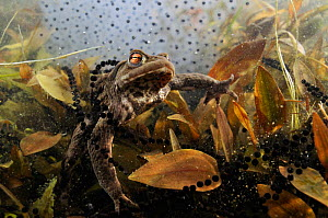 Common toad (Bufo bufo) in a pond, with toad spawn and frogspawn, Coldharbour, Surrey, England, UK, March. 2020VISION Book Plate.  -  Linda Pitkin / 2020VISION
