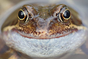 Portrait of Common frog (Rana temporaria) in garden pond, Warwickshire, England, UK, March. 2020VISION Book Plate. - Mark Hamblin / 2020VISION