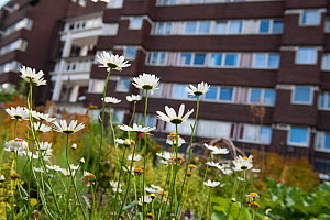 Ox-eye daisies (Leucanthemum vulgare) growing in Evelyn Community Gardens, Deptford, London, England, UK, August. 2020VISION Book Plate. Did you know? Daisies are very successful in urban habitats due... - Paul Harris / 2020VISION