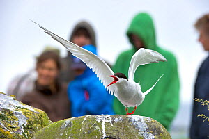 Arctic tern (Sterna paradisaea) on rocks with tourists in the background, Inner Farne, Farne Islands, Northumberland, England, UK. 2020VISION Book Plate. - Rob Jordan / 2020VISION