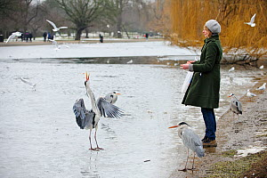 Grey Heron (Ardea cinerea) being fed on frozen lake by a woman standing on the shore, Regents Park, London, England, UK, February. Model released. 2020VISION Book Plate.  -  Terry Whittaker / 2020VISION