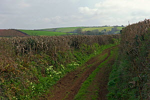Green lane with Primroses (Primula vulgaris) in flower, near Cornworthy, Devon, UK, early spring,  March 2012  -  Rob Cousins