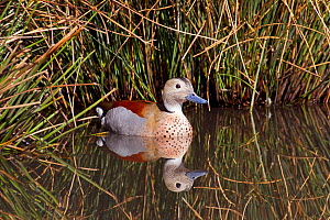 Ringed teal (Callonetta leucophrys) male swimming in water. Captive, occurs Central South America.  -  Rod Williams