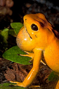 Golden poison dart frog (Phyllobates terribilis) with throat pouch / vocal sacs expanded. Captive occurs Colombia. Endangered species - Rod Williams
