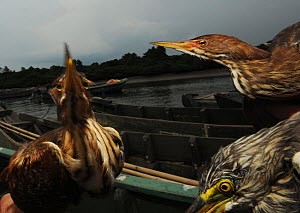 Little heron (Butorides striatus) and Chinese pond heron (Ardeola bacchus) on boat, captured by fisherman and used for fishing, Hainan Island, China. - Shibai Xiao