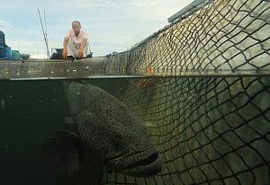 Banded grouper (Epinephelus awoara) captive underwater in net with fisherman on bank looking down into water, Hainan Island, South China Sea, China.  -  Shibai Xiao