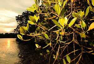 Mangrove forest (Sonneratia hainanensis) view at sunset, Guangxi Province, China. - Shibai Xiao