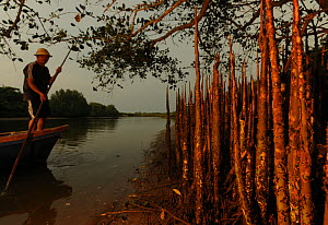 Mangrove forest (Sonneratia hainanensis) respiratory roots with man standing up in small boat, Guangxi Province, China. No releases available. - Shibai Xiao