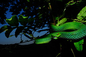 White lipped palm / tree viper (Trimeresurus albolabris) in tree with a defensive posture, Fanjingshan National Nature Reserve, Guizhou Province, China. - Shibai Xiao