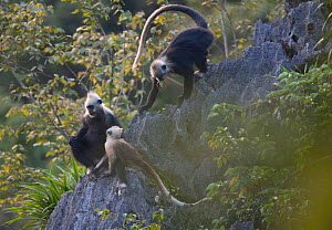 White headed langur (Presbytis leucocephalus) on rocks with their young, Guangxi Province, China.  -  Shibai Xiao