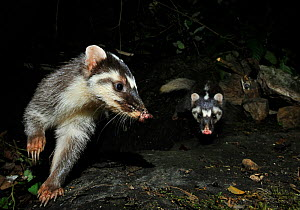 Chinese ferret badger (Melogale moschata) two captured by camera trap at night, Guangxi Province, China. - Shibai Xiao