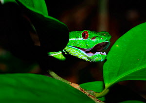 Bamboo / Stejnegeri viper (Trimeresurus stejnegeri) head peering out from leaves, Bawangling National Nature Reserve, Hainan Island, China. - Shibai Xiao