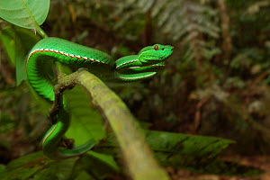 Bamboo / Stejnegeri viper (Trimeresurus stejnegeri) moving along branch in tree, Bawangling National Nature Reserve, Hainan Island, China. - Shibai Xiao