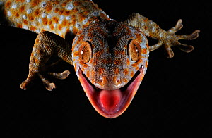 Tokay gecko (Gekko gecko) close up portrait of head with black background, Guangxi Province, China. - Shibai Xiao