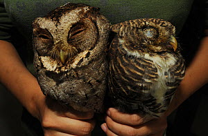 Collared scops owl (Otus bakkamoena lempiji) left and Asian barred owlet (Glaucidium cuculoides) on right, held captive in mans hands, being sold on market, Guangxi Province, China, November 2011. - Shibai Xiao