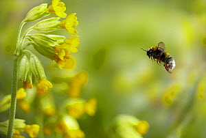 Buff-tailed Bumblebee (Bombus terrestris) worker bee flying to Cowslip (Primula veris) flowers. UK, April. - Stephen Dalton