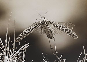 Desert Locust (Schistocerca gregaria) flying, controlled conditions, scan from black and white print  -  Stephen Dalton