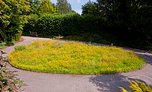 Holly Farm Lawn Meadow. A normal lawn left to nature uncut. This will be scythed end of July and left to dry and seeds to drop before being raked and allowed to revert to lawn and the cycle repeated t...  -  Stephen Dalton