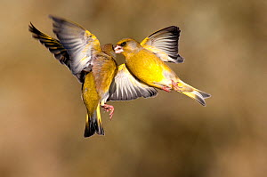Greenfinches (Carduelis chloris) squabbling in flight, Dorset, UK, February  -  Colin Varndell